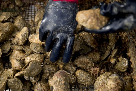 Oyster Reef Can Save Chesapeake Bay