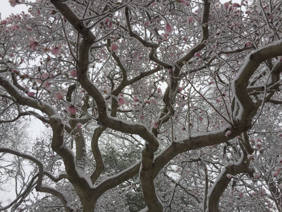 Snowy cherry blossoms struggle to bloom in D.C. on the first day of spring.